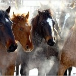 Calico Horses, sweaty in the cold