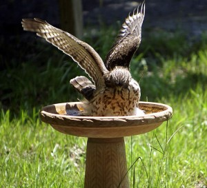 One of our resident hawks taking a bath in our birdbath during the heatwave.
