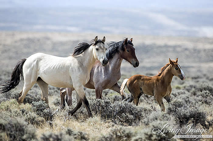 Take Action To Preserve Wyoming S Wild Horses Horses In